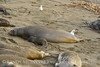 Elephant seal mom and babies, San Simeon CA (37)
