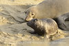 Elephant seal mom and babies, San Simeon CA (27)