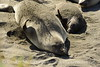 Elephant seal mom and babies, San Simeon CA (8)