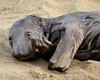 Elephant seal pup, San Simeon, CA (67) copy 2