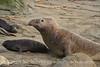Elephant Seal bull, San Simeon CA rookery (89)