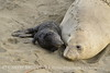 Elephant seal mom and babies, San Simeon CA (40)