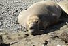 Elephant Seal bull, San Simeon CA rookery (10)