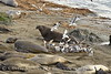 Gulls eating elephant seal placenta, San Simeon CA (9)