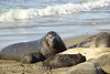 Elephant Seal bull, San Simeon CA rookery (111)