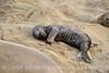 Elephant seal pup, San Simeon, CA (68)