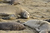 Elephant seal mom and babies, San Simeon CA (33)
