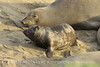 Elephant seal mom and babies, San Simeon CA (28)