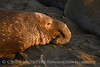 Elephant Seal bull, San Simeon CA rookery (97)