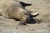 Elephant Seal bull, San Simeon CA rookery (8)