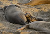Elephant seal mom and babies, San Simeon CA (51)