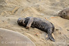 Elephant seal pup, San Simeon, CA (70)