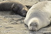 Elephant seal mom and babies, San Simeon CA (14)