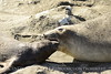 Elephant seal mom and babies, San Simeon CA (5)