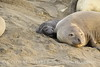 Elephant seal mom and babies, San Simeon CA (47)