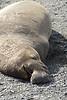 Elephant Seal bull, San Simeon CA rookery (2)