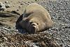 Elephant Seal bull, San Simeon CA rookery (16)