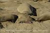 Dead baby elelphant seal, CA