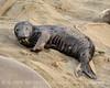 Elephant seal pup, San Simeon, CA (71)