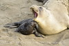 Elephant seal mom and babies, San Simeon CA (43)