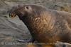 Elephant Seal bull, San Simeon CA rookery (93)