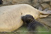Elephant seal mom and babies, San Simeon CA (49)