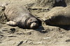 Elephant seal mom and babies, San Simeon CA (4)