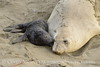 Elephant seal mom and babies, San Simeon CA (42)