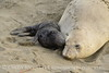 Elephant seal mom and babies, San Simeon CA (41)