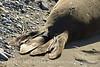 Elephant Seal bull, San Simeon CA rookery (22)