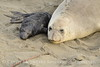 Elephant seal mom and babies, San Simeon CA (46)