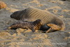 Elephant seal mom and babies, San Simeon CA (52)