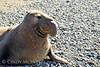 Elephant Seal bull, San Simeon CA rookery (13)