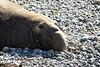 Elephant Seal bull, San Simeon CA rookery (11)