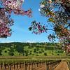 Suisun Valley California,  blossoms and vineyard