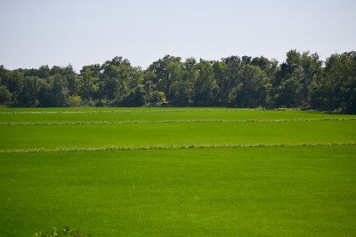 Field of rice.... it always amazed me when I moved to California to discover rice being grown here.