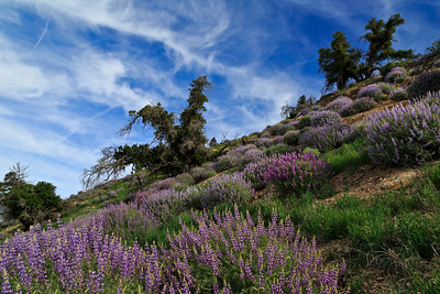 Springtime flowers on Figueroa Mountain