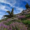 Springtime flowers on Figueroa Mountain