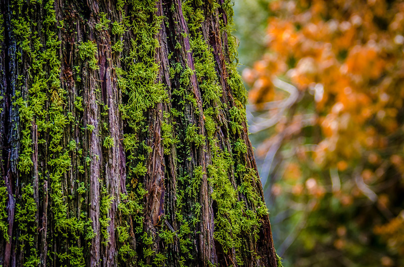 Mossy Trunk - Forest Falls, CA, USA