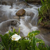 Calla Lilly and Stream