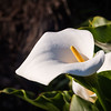 Calla Lilly Portrait