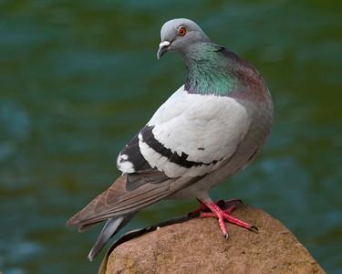 Rock Dove