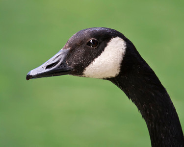 My friend, the Canadian Goose