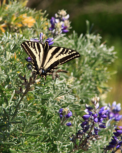 Channel Islands National Park, Santa Cruz Island - Swallow-tail butterfly on lupine