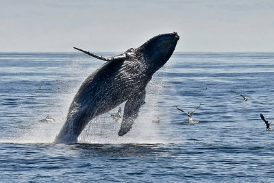 Channel Islands National Park and National Marine Sanctuary - Humpback whale breech.  Santa Barbara Channel.