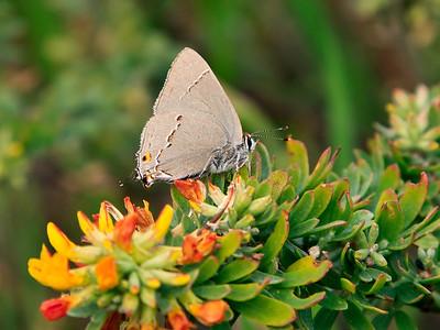 island deerweed (Lotus dendroideus var dendroideus)