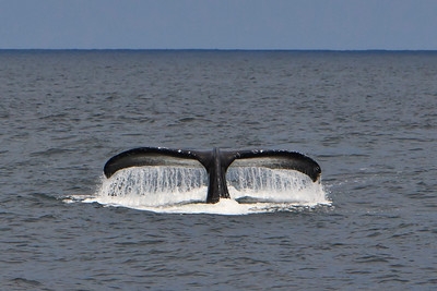 Channel Islands National Park and National Marine Sanctuary - Humpback whale tail.  Santa Barbara Channel.