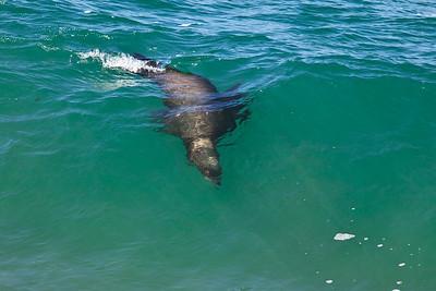 Channel Islands National Marine Sanctuary - California sea lion