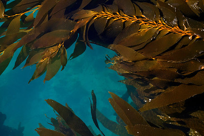 Channel Islands National Park - Kelp in Scorpion Anchorage, Santa Cruz Island