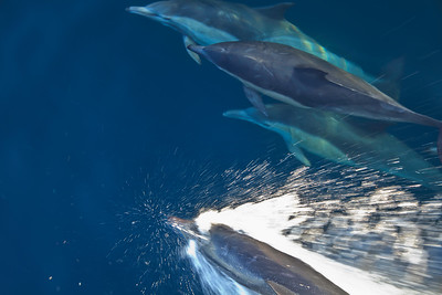 Channel Islands National Park and National Marine Sanctuary -Common dolphins, Santa Barbara Channel